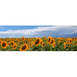 "Ferrua""Girasoli in Val D'Orcia"" Tuscan Sunflowers Field, Author's Photographic Image"