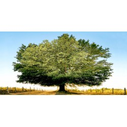 "Ferrua""Un secolo di tramonti"" awesome Oak Tree art picture for Home Decor"