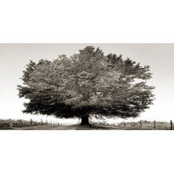 "Ferrua""Un secolo di tramonti BW"" awesome Oak Tree art picture in black and white"