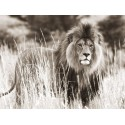 Male Lion, ANONYMOUS high quality print